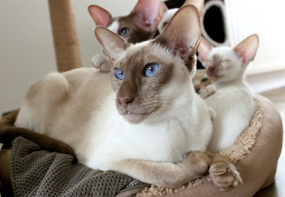 Matka kota syjamskiego z młodymi kociakami.