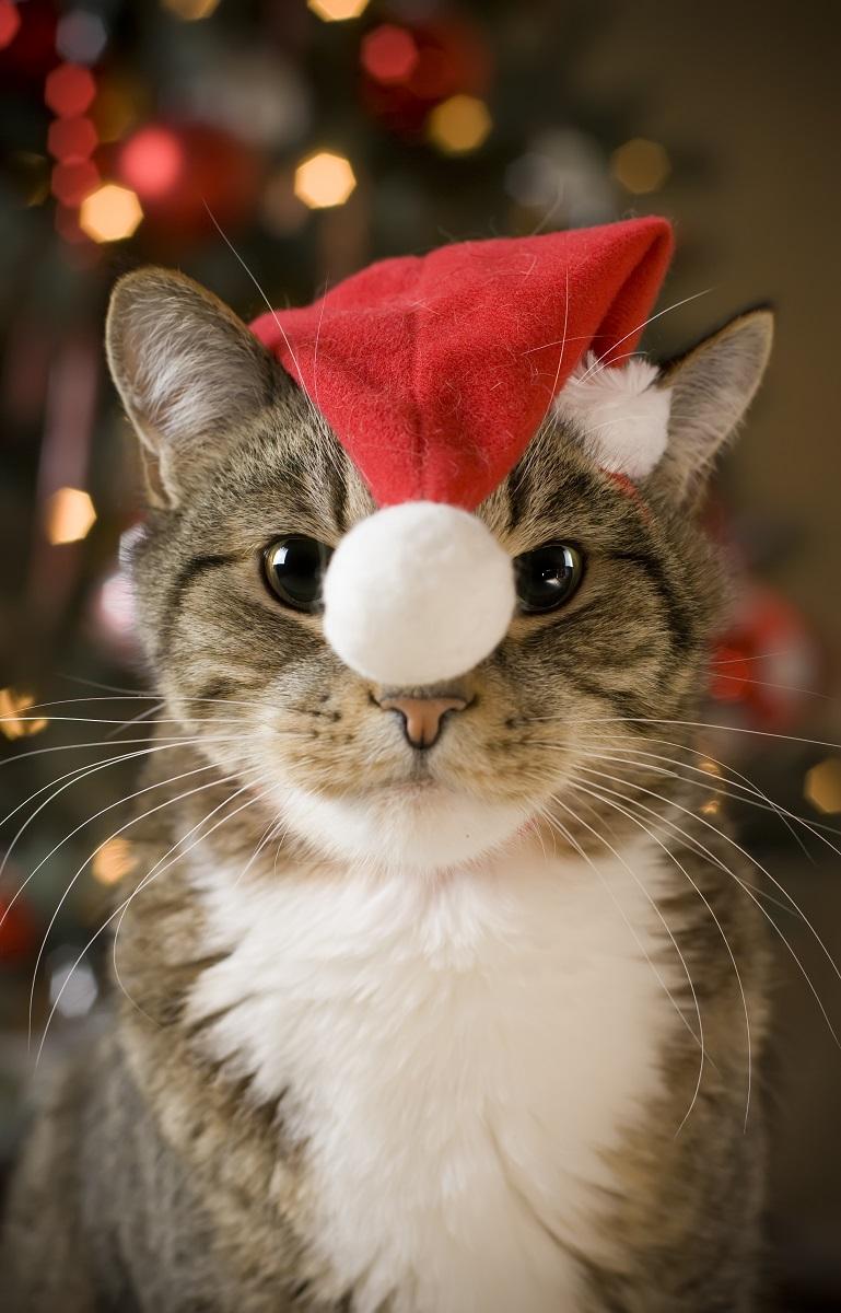 Kot z czapeczką mikołaja na głowie. Pomóż kotu przetrwać tę szalony i nerwowy czas. Koty też się stresują.