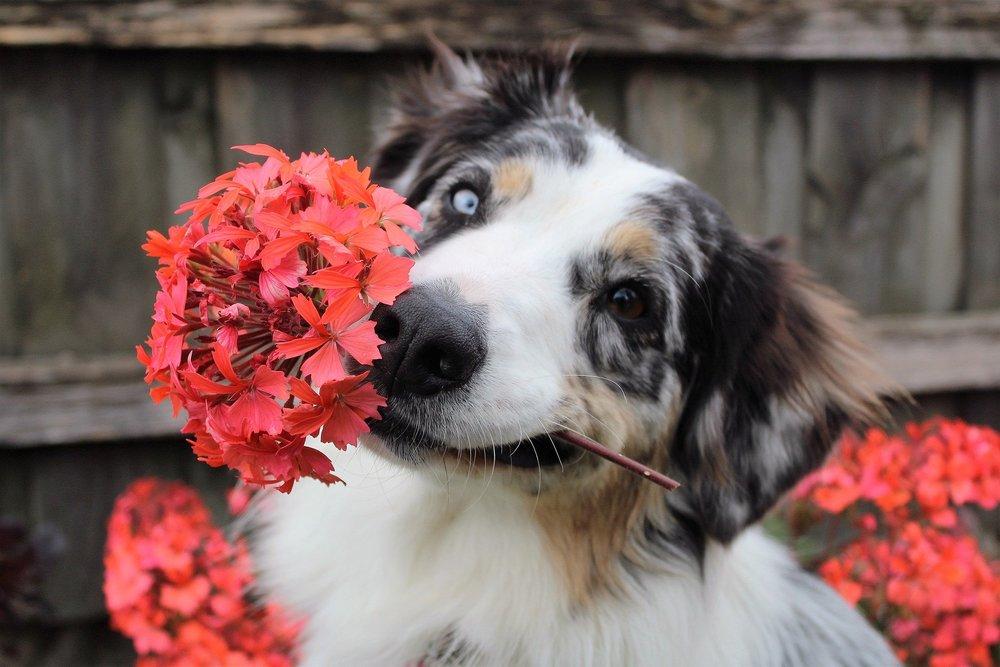 Owczarek australijski z kwiatami, ma dwukolorowe oczy. Czasami psy mają takie znaki szczególne, które ułatwiają wybranie imienia dla psa,