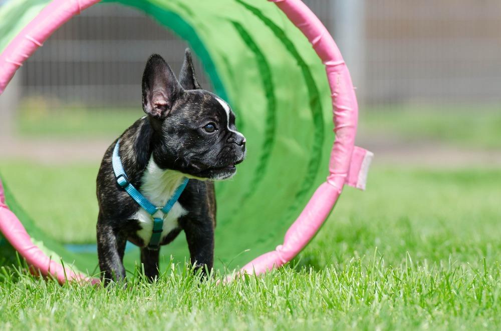 Buldożki francuskie są towarzyskimi i zwinnymi psami, dobrze sprawdzą się w niektórych psich sportach lub w nauce posłuszeństwa.