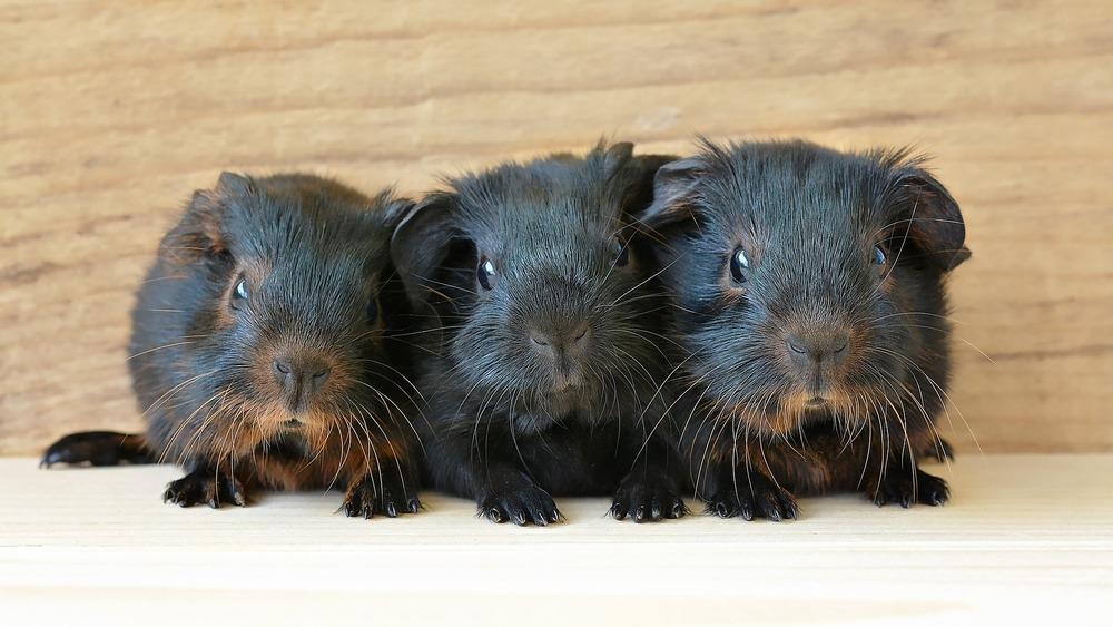 Trzy czarne świnki morskie o umaszczeniu czarnym podpalanym.