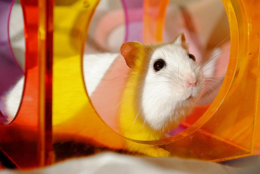 Chomiki są bardzo ciekawskimi zwierzętami, aby się nie nudziły warto co jakiś czas urozmaicać im otoczenie i dodawać zabawki lub tunele.