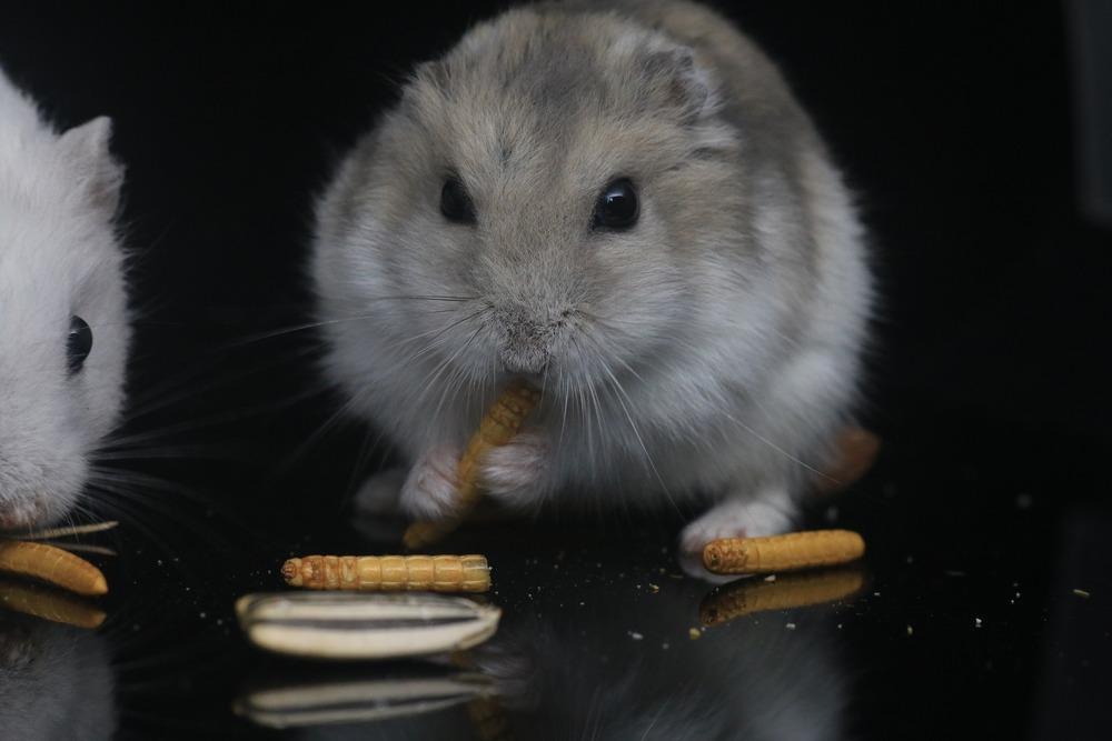 Chomiki powinny dostawać białko zwierzęce w postaci suszonych mączników lub świerszczy. Najlepiej podawać taki pokarm raz lub dwa razy na tydzień.