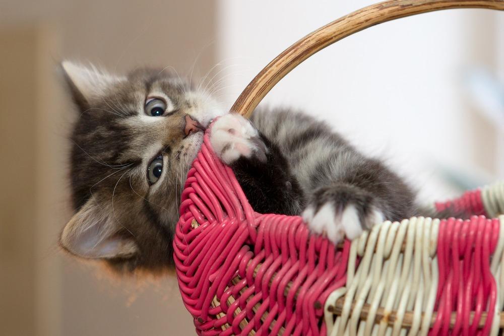 Kociak gryzie koszyk, może to być spowodowane nudą lub ząbkowaniem, podczas którego swędzą dziąsła.