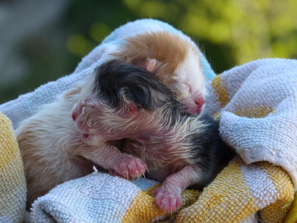 Dopiero co urodzone, bezradne dwa kocięta. Mokre z płynu owodniowego, zawinięte w ręcznik.