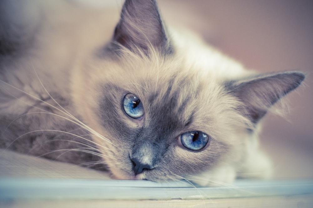Ragdolle charakteryzują się głęboko błękitnymi oczami.
