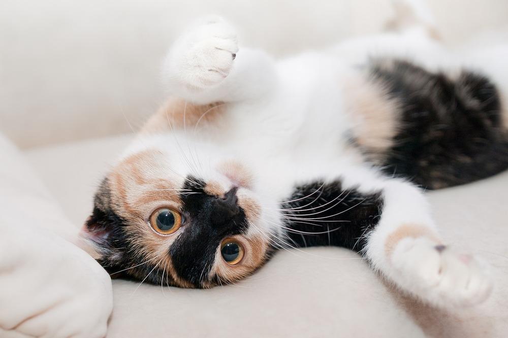 Tricolor leży na plecach i zachęca do zabawy. Warto kontrolować zdrowie swojego kota i szybko reagować na niepokojące objawy.