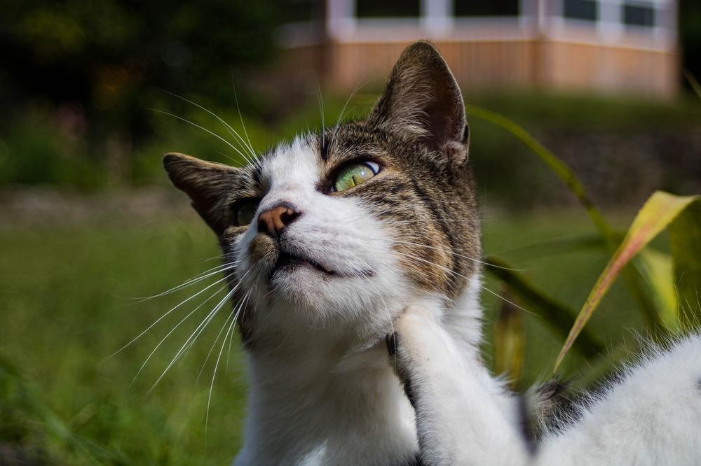 Kot tylną łapą drapie się w brodę. Świąd może mieć wiele źródeł, m.in. ciała obce, alergie, zapalenia skóry, itp.