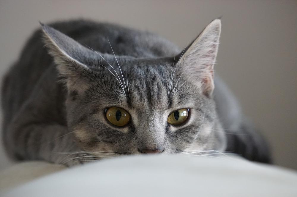 Kot skrada się, aby ruszyć do obiektu, który go zainteresował.
