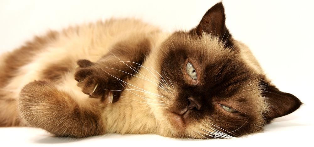 Kot tajski wyciąga łapy chcą ugniatać w powietrzu.