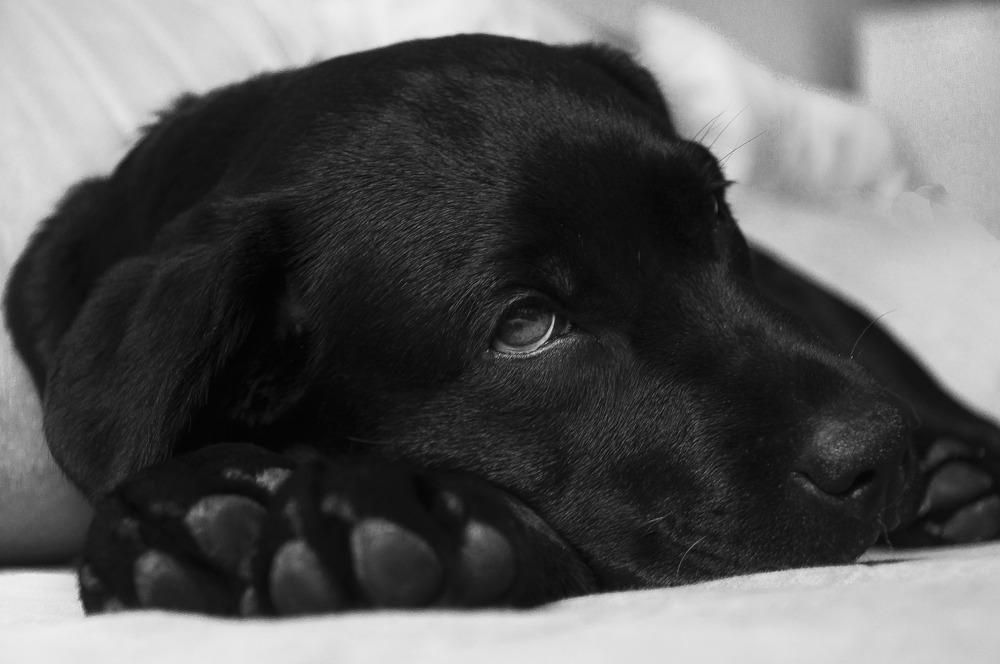 Czarny labrador, leży z głową opartą na przednich łapach i spogląda w dal.