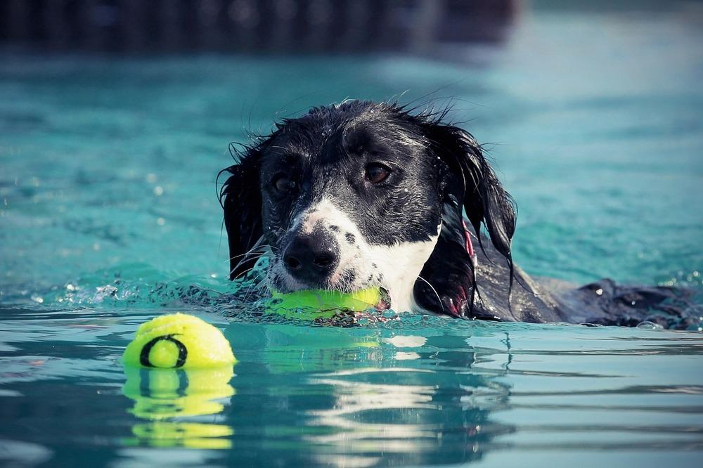 Pies łapie piłki w basenie. Aportowanie dowodne jest dobrym pomysłem w upalne dni, dla psów potrafiących pływać.