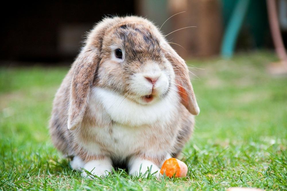 Królik rasy mini lop je marchewkę. Stoi na trawie z otwartym pyszczkiem.