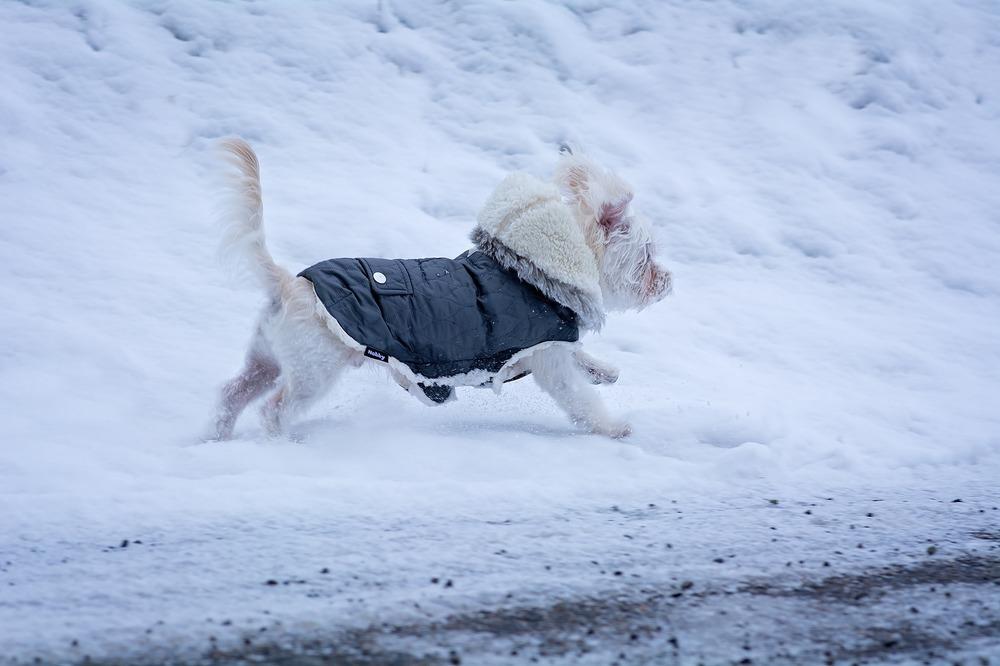 Ubranko dla psa musi dobrze leżeć i nie może krępować ruchów psa