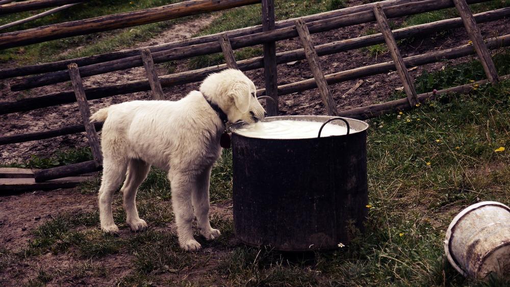 Czy szczenię może pić zwykłe mleko?