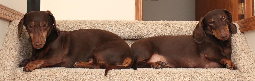 Dwa jamniki krótkowłose leżą na schodku i zajmują całą jego długość. Jamniki mają identyczny wygląd.
