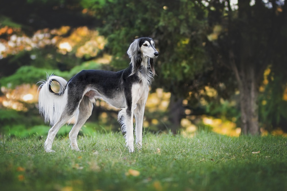 Charty są jednymi z najszybszych ras psów domowych. Służyły do gonienia zwierzyny po otwartym terenie.