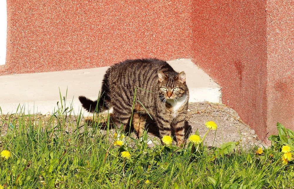 Wystraszony kot próbuje wizualnie powiększyć swoje rozmiary ciała. W tym celu stroszy sierść na grzbiecie i ogonie, wydając się większym.