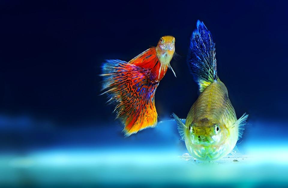 Jedną z popularnych rybek akwariowych jest bojownik.