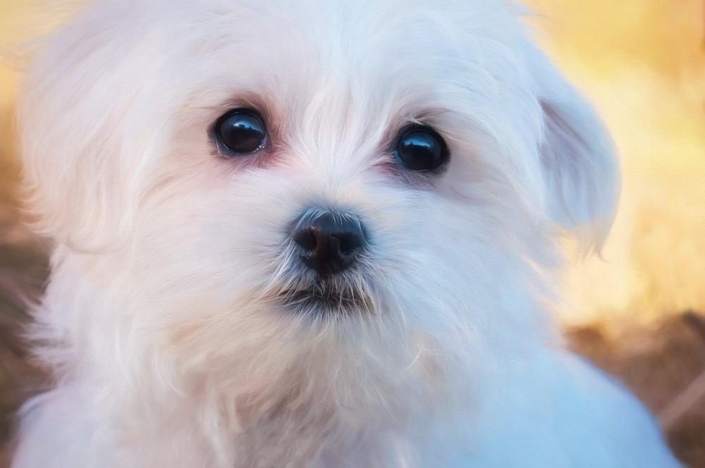 Czarne, duże oczy, czarny nos i wargi nadają maltańczykom miłego, wręcz dziecięcego wyrazu pyszczka.