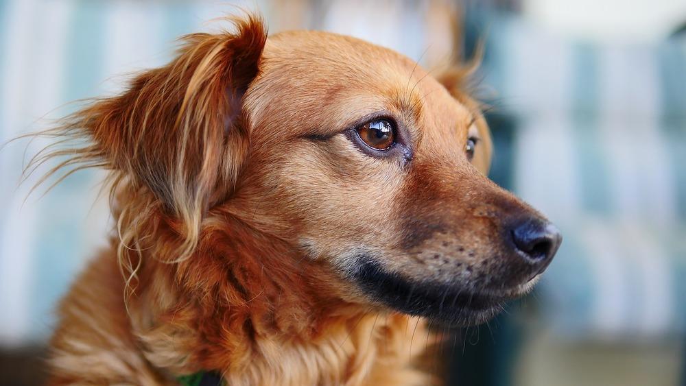 Szczep swojego psa, uchronisz go przed wieloma chorobami, m.in. parwowirozą.