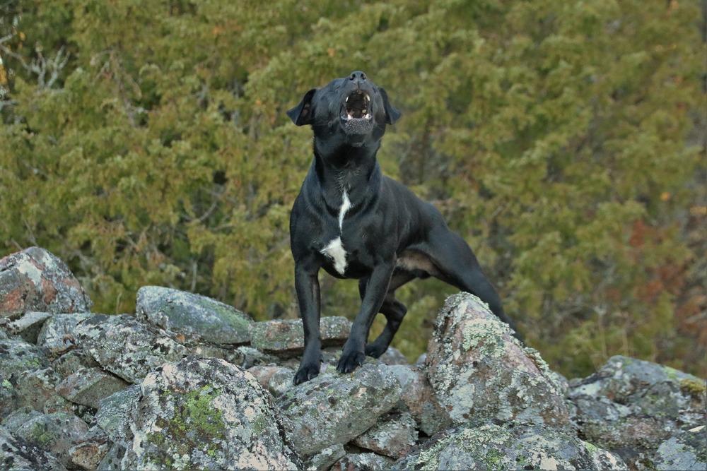 Pies wyje z różnych powodów, ale służy przede wszystkim do przywoływania innych członków stada.
