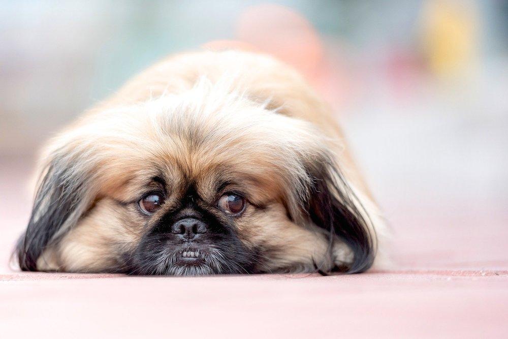 Temperatura psa powinna wynosić 37,5-39℃, przy czym różni się ona w zależności od wielkości i wieku zwierzęcia.
