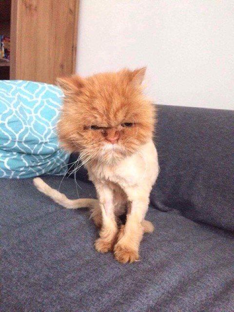 Zaniedbany kot rasy pers z adopcji. Bez pielęgnacji sierści persa zarasta on kołtunami i jedynym wyjściem może okazać się ścięcie skorupy sierści.