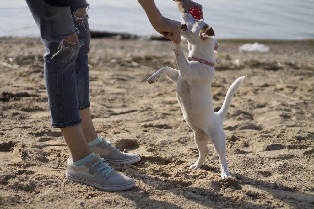 Jack Russel Terrier na treningu z panią. Na plaży każdy chętnie się uczy.