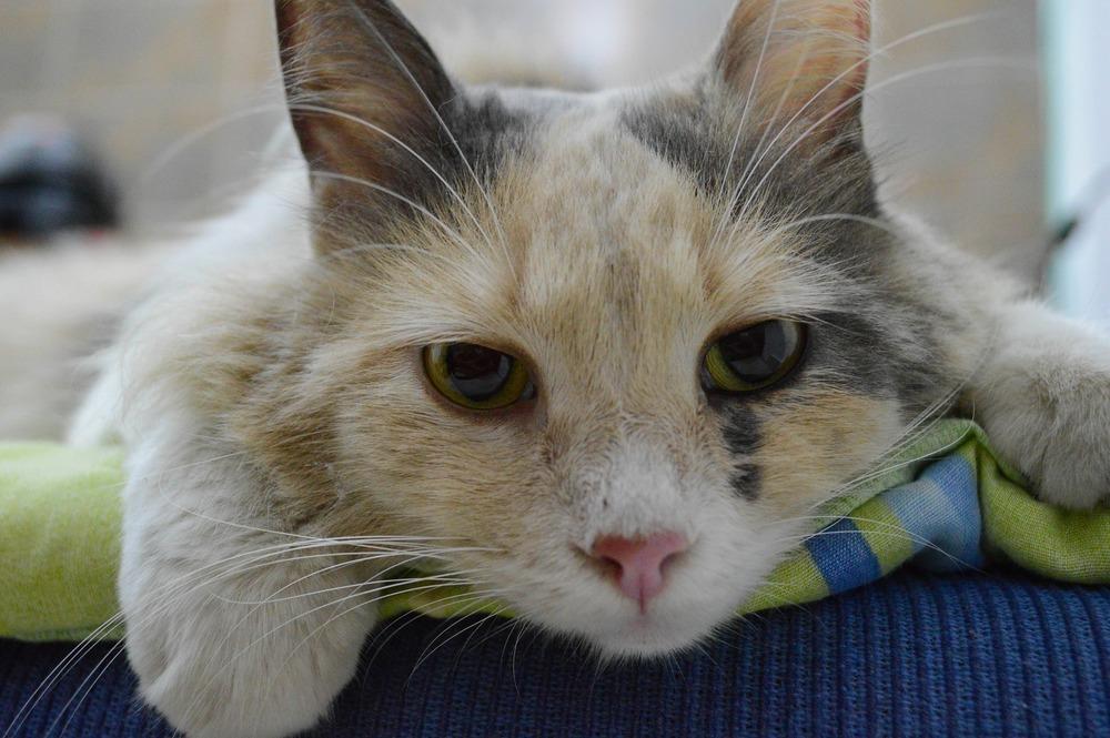 Chory kot leży w gabinecie weterynarii. Widać jego smutne, ale piękne oczy