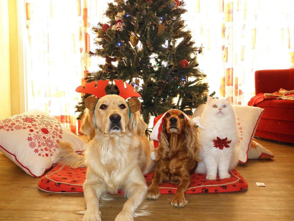 Prezenty świąteczne dla psów i dla kotów uszczęśliwiają wszystkich - opiekunów i zwierzęta. Duży golden, mały cavalier i kot - ze świątecznymi ozdobami czekają już na prezenty,