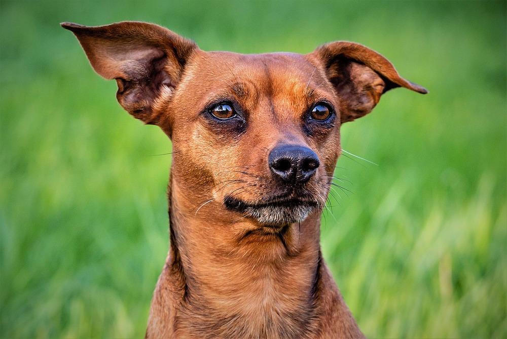 Kundelek na trawie. Psy spacerujące w lesie, po polanach, na łąkach są szczególnie narażone na ugryzienia kleszczy.