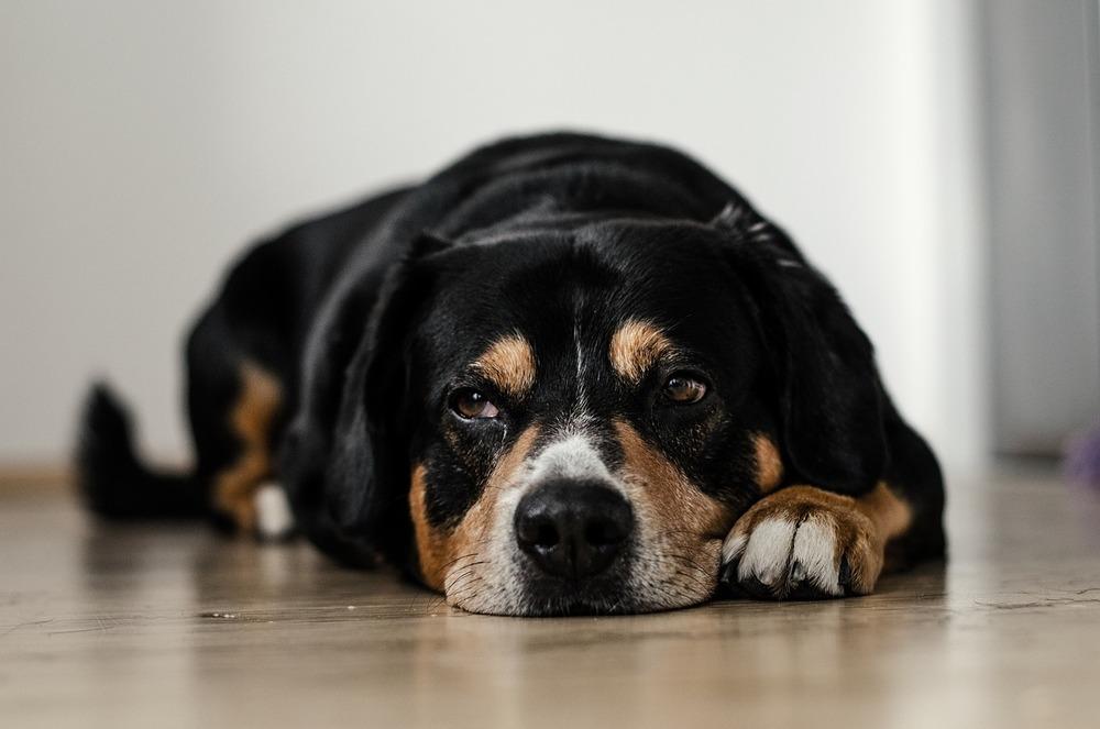 Nie zrujnuj swojemu psu świąt i Nowego Roku. Zawsze dbaj o dobre żywienie psa i nie podawaj mu trujących dla niego składników.