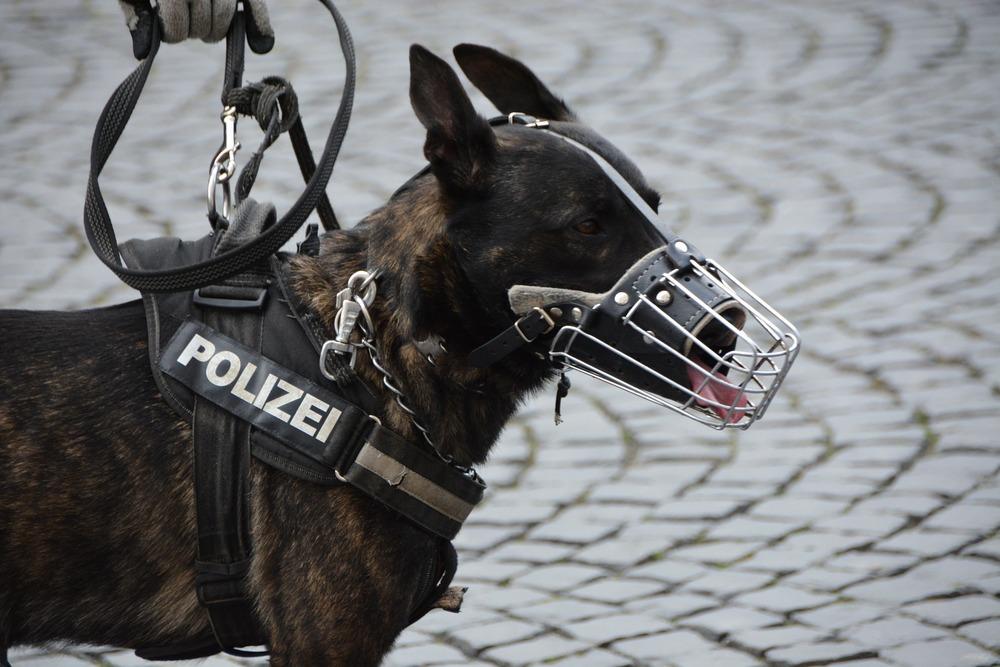 Owczarek pracujący dla policji ma założony kaganiec metalowy, koszykowy