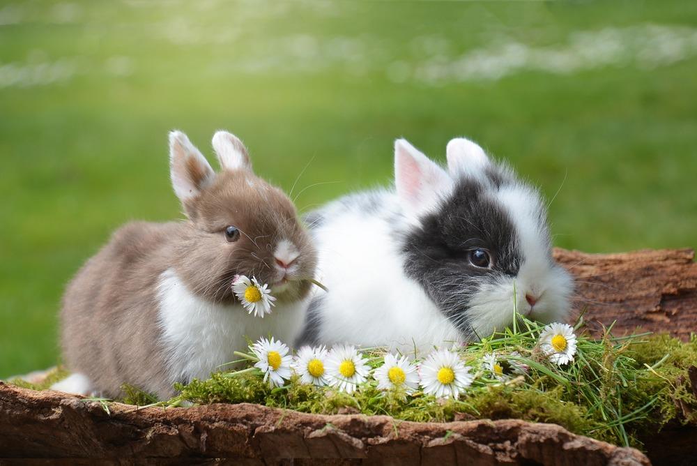 Dwa młode króliki miniaturowe siedzą wśród trawy i stokrotek. Jeden z nich je stokrotkę.