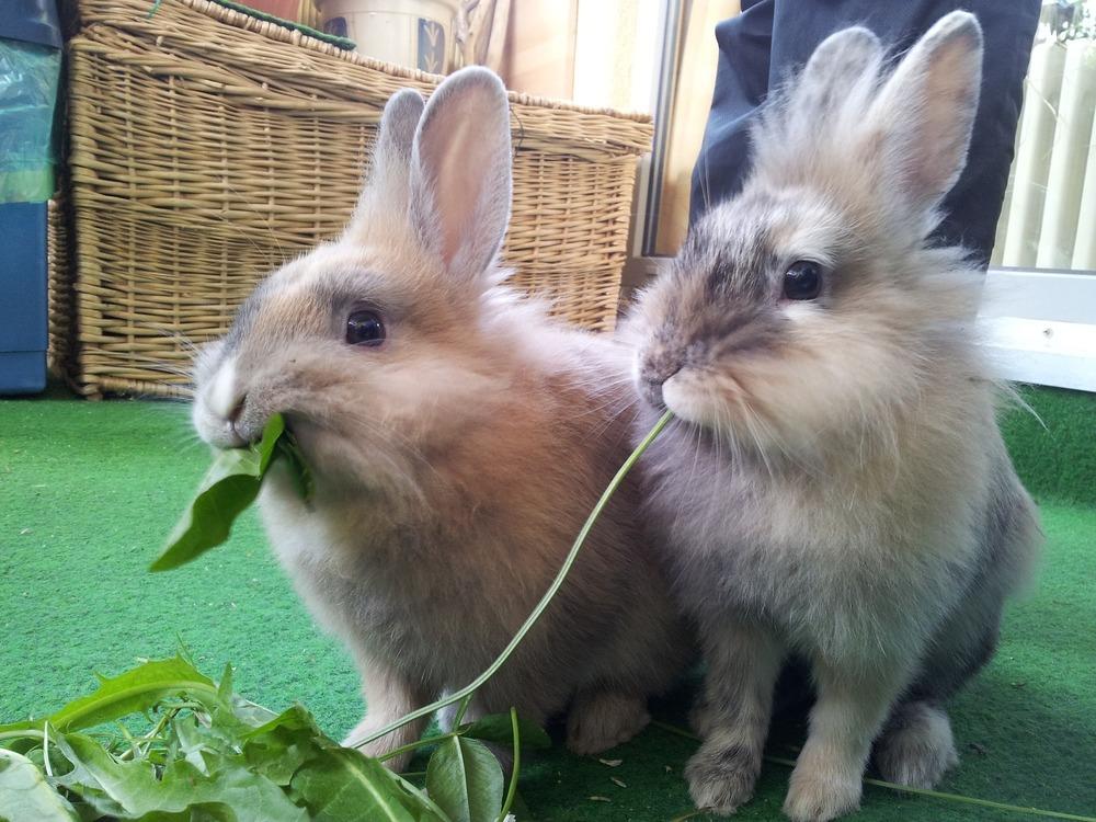 Króliki potrzebują zbilansowanego pokarmu. Króliki jedzą również trawę i zielone liście.