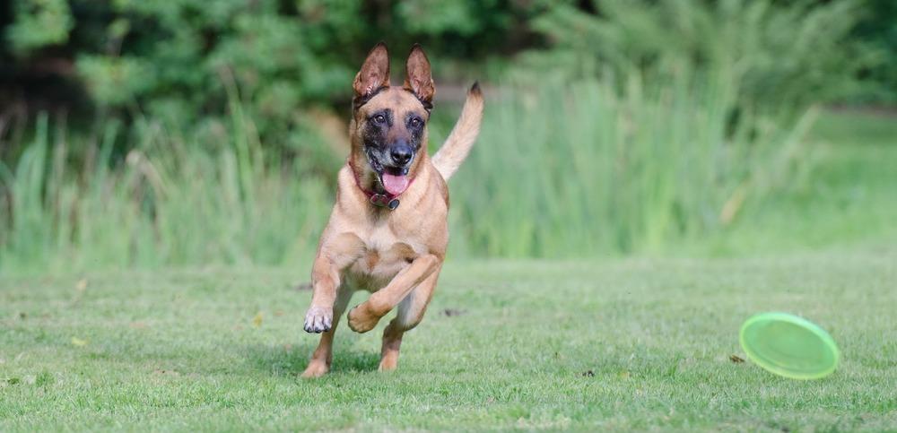 Pies w pogoni za zabawką może zapomnieć o całym świecie. Pomocny wtedy może okazać się gwizdek dla psa.