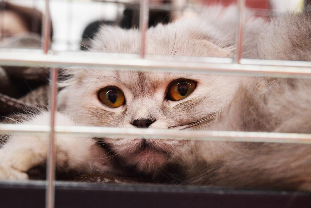 Kot szkocki zwisłouchy patrzy się zza krat klatki.