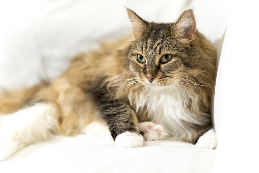 Długowłosy kot leży na kanapie. Ma lekko widoczne trzecie powieki, co może być przyczyną stresu.