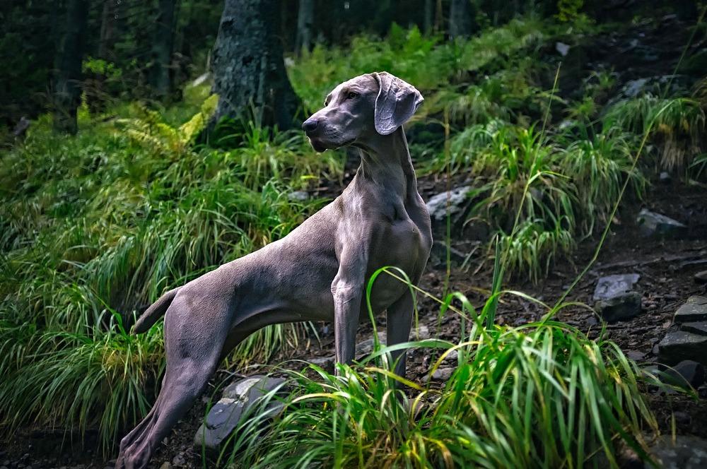 Wyżeł weimarski prezentuje idealną sylwetkę psa myśliwskiego. Smukły i umięśniony.