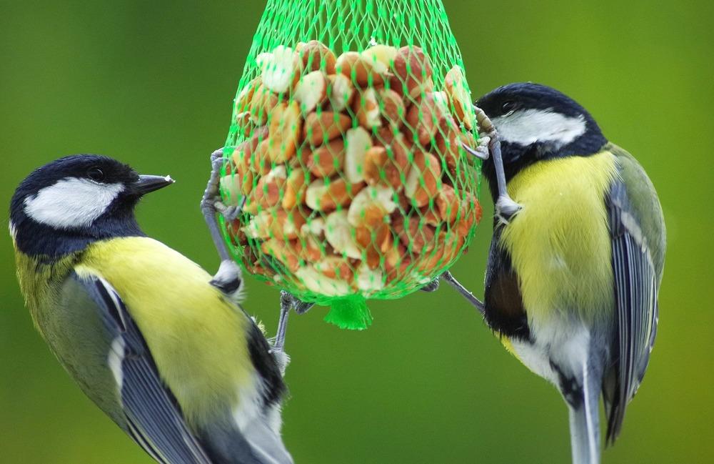 Orzeszki ziemne umieszczone w siateczce są źródłem tłuszczu i białka. Sikorki je uwielbiają.
