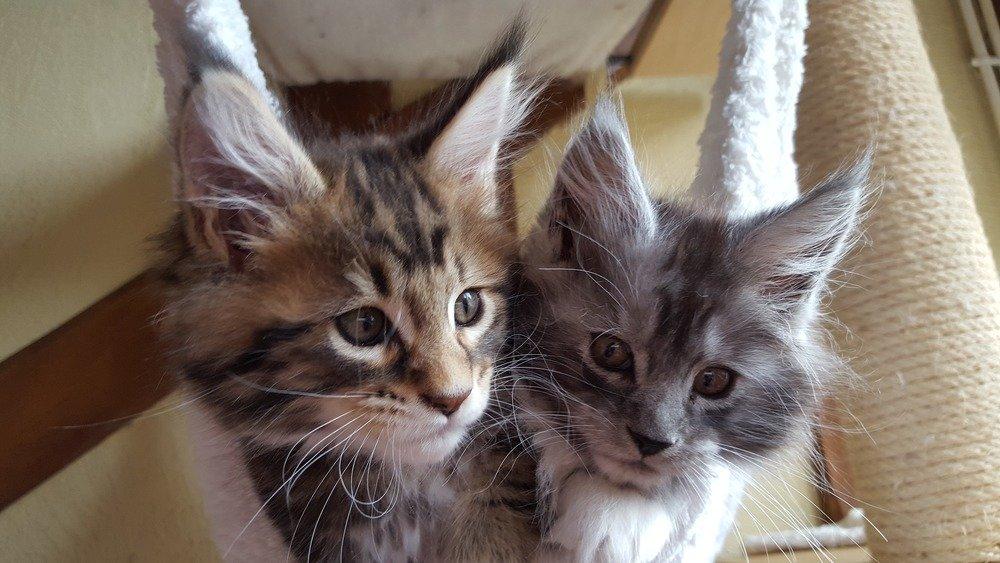 Już kociaki Maine Coonów mają długie wibrysy i pędzelki na uszach.