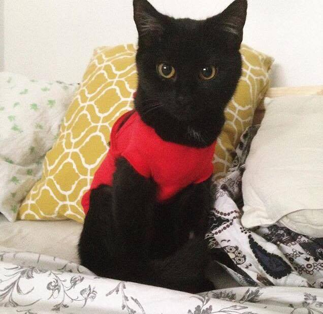 Po zabiegu kastracji lub sterylizacji kotki noszą specjalny kubraczek.