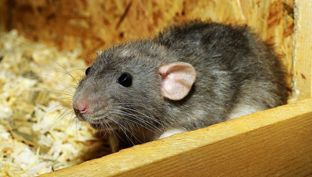 Szary szczur. Jak poznać, że szczur jest chory?