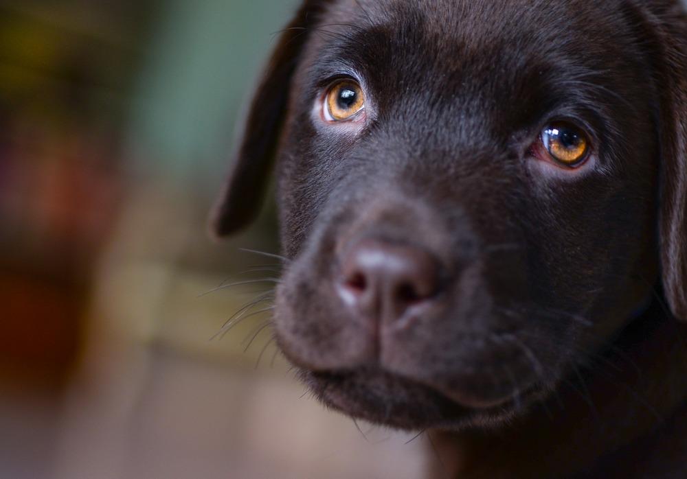 Już szczeniaki potrafią podejść nas i błagalnym wzrokiem wymusić dostanie tego czego chcą.