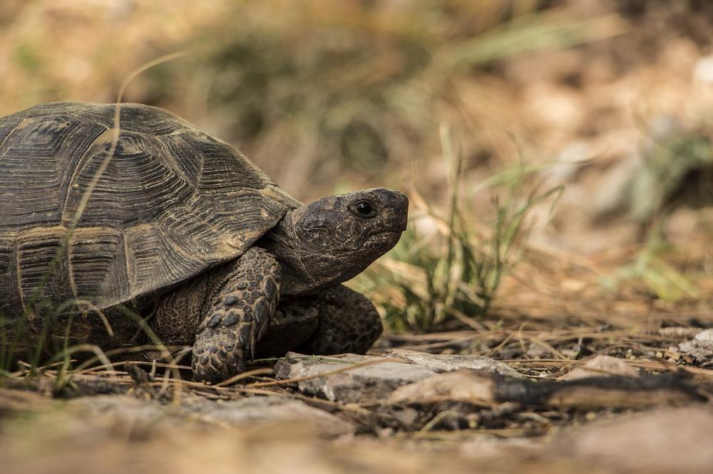 Żółw lądowy przechadza się, żółwie potrzebują wybiegu i sporej dawki ruchu.