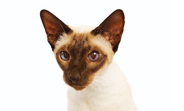 Koty syjamskie mają bardzo niebieski oczy. Umaszczenie z ciemniejszą maską na pysku jest najbardziej charakterystyczne.