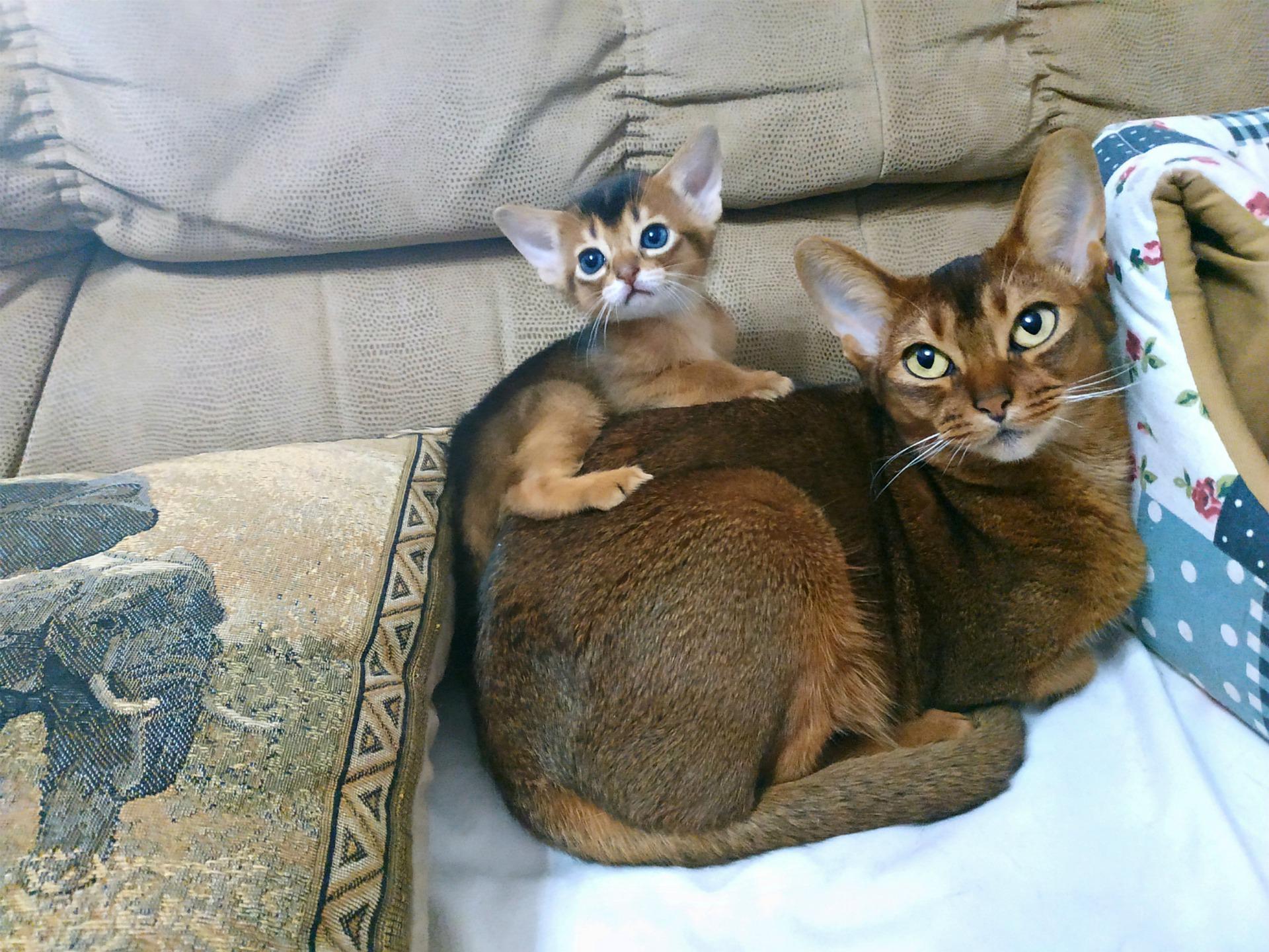 Koty abisyńskie należą do grupy kotów orientalnych. Są bardzo towarzyskie i ciekawskie.