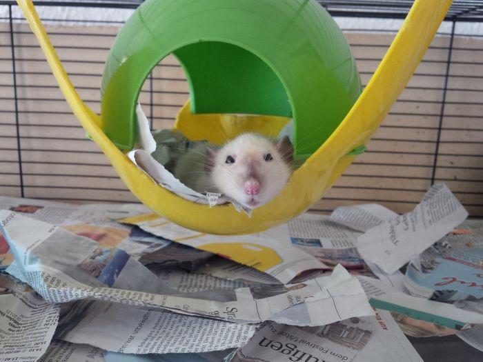 Szczur na zabawce w klatce.