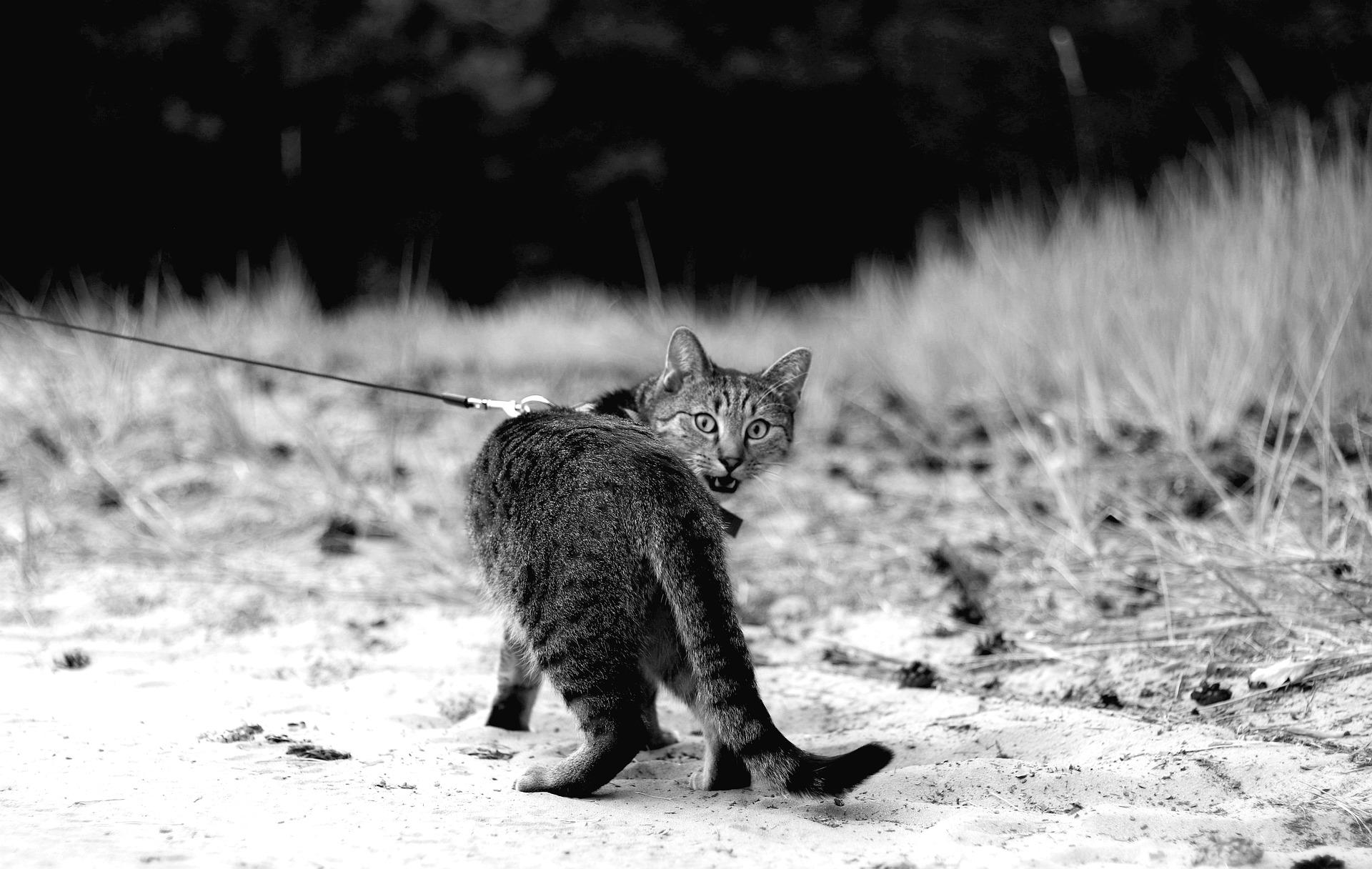 Nauka chodzenia kota na smyczy zawsze powinna zaczynać się w domu - na terenie bezpiecznym i pewnym. Akcesoria spacerowe zawsze powinny być na widoku, tak aby kot mógł się z nimi oswoić i przyzwyczaić. Po nauce zakładania smyczy i szelek należy kota nagrodzić.